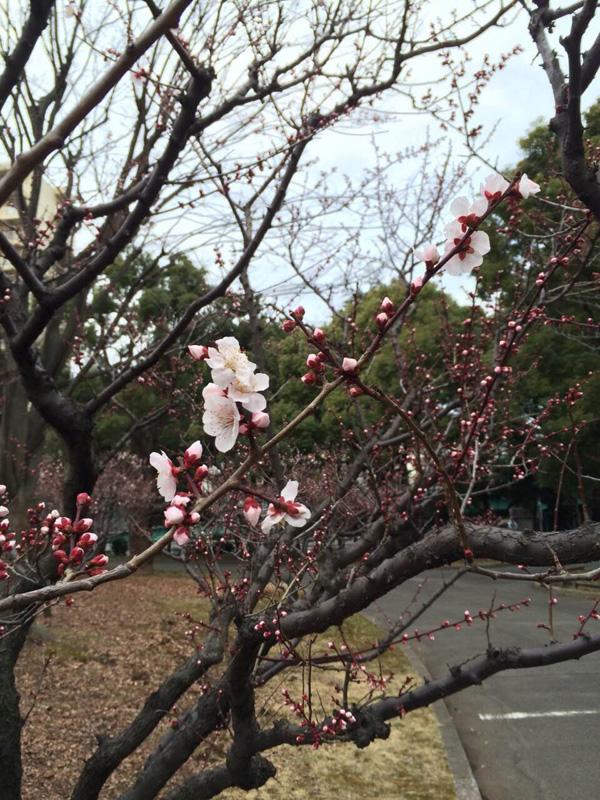 輿水さん桜1